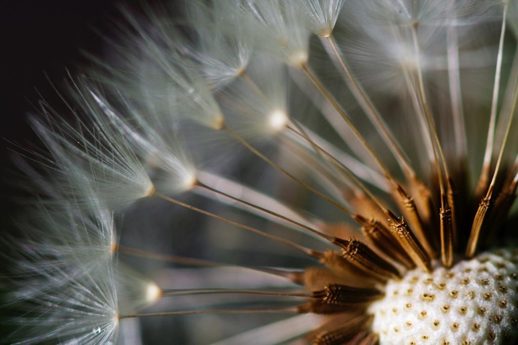 Birthing Dandelion
